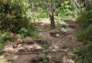 Ξερίζωσαν 2η «ορφανή»  φυτεία με 29 χασισόδεντρα