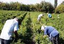 Συναγερμός στη Λακωνία: Θετικοί στον κορονοϊό 32 εργάτες γης στον δήμο Ευρώτα – ΒΙΝΤΕΟ