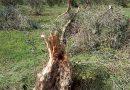 Ξυλοκαστρο: Η Ελιά εχει σχεδόν μηδενική η παραγωγή στην Κορινθία