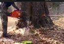 Το μεγαλύτερο δέντρο του κόσμου, – Μόνο αυτό το μηχάνημα μπορεί να κοπεί. – Απολύτως προσέξτε!