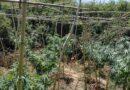 Εντοπίστηκε φυτεία δενδρυλλίων κάνναβης στην Αρκαδία