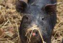 19,9 εκατ. ευρώ για ενίσχυση λόγω πανδημίας σε χοίρο, μαύροι χοίρο και μέλι