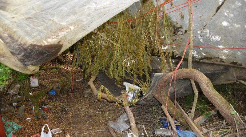Εντοπίστηκε φυτεία 119 δενδρυλλίων κάνναβης στη Μεσσηνία